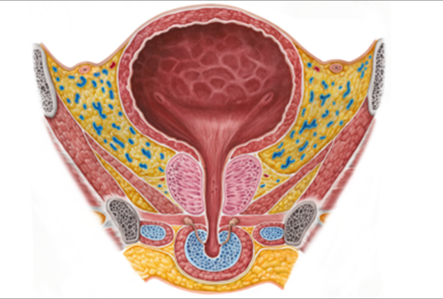 content_Male_urinary_bladder